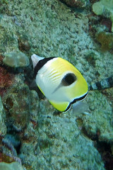 butter up (BarryFackler) Tags: teardropbutterflyfish chaetodonunimaculatus lauhau butterflyfish fish vertebrate cunimaculatus water westhawaii ecology ecosystem reef tropical undersea underwater island ocean organism outdoor pacificocean polynesia pacific life kona konacoast konadiving hawaii hawaiiisland hawaiicounty honaunau honaunaubay hawaiidiving hawaiianislands wildlife fauna diving dive diver southkona sea scuba seacreature sealife sealifecamera sandwichislands seawater saltwater aquatic animal zoology coralreef creature coral barryfackler barronfackler bigisland bay biology being bigislanddiving nature marinelife marine marinebiology marineecosystem marineecology 2018