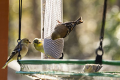 BackyardBirds_1-21-19-54 (RobBixbyPhotography) Tags: florida goldfinch jacksonville backyard birds