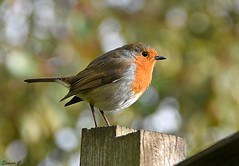 Robin on the Fence Post  HFF (Eleanor (No multiple invites please)) Tags: robin fencepost bokeh garden stanmore uk nikond7200 january2019 ngc coth coth5