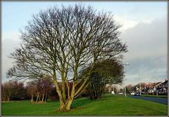 Fleetwood Rd Sothport (* RICHARD M (Over 8 MILLION VIEWS)) Tags: fleetwoodroad fleetwoodrdsouthport heskethpark golflinks trees barebranches january winter southport sefton merseyside suburbs suburban england unitedkingdom uk greatbritain britain britishisles