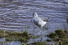 the green green grass (blackfox wildlife and nature imaging) Tags: nikon d300s sigma150600c greenshank wales wildlife waders flintcastle deeestuary