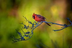 Male cardinal at Venice Rookery, Venice, Florida (diana_robinson) Tags: cardinal malecardinal redbird cardinalidae venicerookery venice florida statebirdofohio statebirdofvirginia statebirdofkentucky