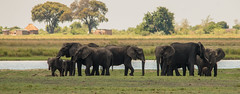 Elephants on Parade (2 of 2) (selvagedavid38) Tags: elephant wildlife mammal river trunk water herd safari botswana africa