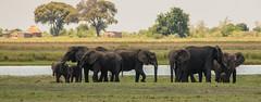 Elephants on Parade (2 of 2) (selvagedavid38) Tags: elephant wildlife mammal river trunk water herd safari botswana africa