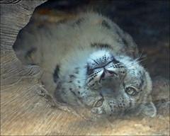 Comfortably lazing (Foto Martien) Tags: snowleopard ounce irbis sneeuwpanter sneeuwluipaard schneeleopard once onza panthèredesneiges léoparddesneiges leopardodasneves leopardodelasnieves karparsı karleoparı leopardodellenevi pantherauncia unciauncia panthera leopard luipaard panter himalaja himalayanmountains himalajagebergte centralasia centraalazië afghanistan bhutan china india kazakhstan kyrgyzstan myanmar nepal pakistan russia tajikistan uzbekistan endangeredanimalspecies bedreigdediersoort wildcat cat kat bigcat zookrefeld krefelderzoo germany deutschland duitsland northrhinewestphalia nordrheinwestfalen zoo dierenpark dierentuin slta77v a77 a77v sonyilca77m2 sonyalpha77mark2 sonyalpha77ii sonyilca77markii 70300 tamron70300mmf456sp martienuiterweerd fotomartien