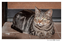 Brown cat (Ignacio Ferre) Tags: gato gatocomún cat mammal mamífero animal felidae felid felino feliscatus nikon pet mascota