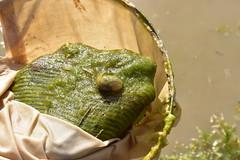 Spadefoot toad tadpole found in vernal pool (USFWS Pacific Southwest Region) Tags: vernalpool vernalpools restoration sandiegocounty otaymesa california usfws fws usfishandwildlifeservice spadefoot tadpole amphibian