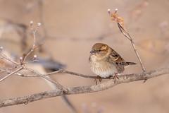 House sparrow (Lynn Tweedie) Tags: wood beak tail wing canon ngc animal 7dmarkii feathers sigma150600mmf563dgoshsm housesparrow tree eye eos missouri bird branch