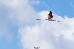 Fenicottero in volo (Francesca Murroni ┃Wildlife Photographer) Tags: fenicottero flamingo pinkflamingo greaterflamingo phoenicopterusroseus phoenicopteridae birds birdwatching nature fauna sky animals wildlifephotography wildlife fotografianaturalistica uccelli animali volo flight sulcis sardegna