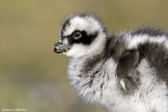 Cape Barren gosling (Jims Wildlife) Tags: cereopsisnovaehollandiae bird australia gosling