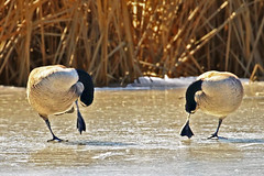 Synchrony (Jan Nagalski) Tags: bird goose canadagoose animal animalbehavior preening ice cattail reeds black matingpair mating frozen cold march winter metropark lakestclair southeastmichigan michigan jannagalski jannagal synchrony synchronized snow