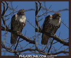 Red Tail Hawk (PHLAIRLINE.COM) Tags: philadelphiainternationalairport kphl phl bizjet spotting spotter airline generalaviation planes flight airlines philly klom lom