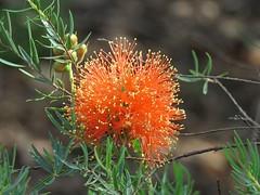 Melaleuca fulgens 3 (nbgact) Tags: australian national botanic gardens canberra act barry m ralley barrymralley dicotyledons