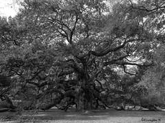 Angel Oak Tree (Bruce Livingston) Tags: oak tree angeloaktree johnsisland charleston sc southcarolina monochrome bw blackwhite
