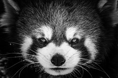 Red Panda - Ailurus fulgens (seb-artz) Tags: nature nikon blackandwhite d1700 portrait cute animal mammal winter fure bw redpanda panda red ailurus fulgens