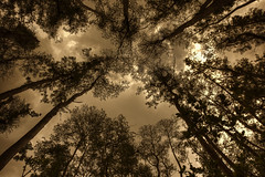 An Ant's View (Jon Scherff) Tags: sepia trees lookingup naplesfl perspective clouds cypress