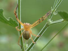 Badge Huntsman (Neosparassus salacius) (Graham Winterflood) Tags: spider badgehuntsman neosparassussalacius canoneos7dmarkii geo:country=australia taxonomy:binomial=neosparassussalacius