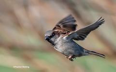 House Sparrow in Flight (stagenutuk) Tags: housesparrowsparrow bird britishbird greylake flight birdinflight somersetlevels nikond500 tamron150600mmlens