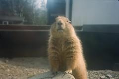 Prairie Dog (iampaulrus) Tags: film filmphotography film35mm lomography lomo analog analogue analoganalogue35mm paulfargherphotography mjuii olympusmjuii curraghswildlifepark ballaughcurraghswildlifepark wildlife prairiedog