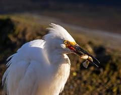 Snowy Egret_26 (SamOphoto2011) Tags: canon california sandiego birds 14iiteleconverter snowyegret egrettathula robbfield 7dmarkii 100400lmarkii egrets sandiegoriver