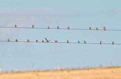 European goldfinch, Carduelis carduelis ,  Common linnet , Linaria cannabina (2) (Geckoo76) Tags: europeangoldfinch cardueliscarduelis goldfinch finch commonlinnet linariacannabina linnet