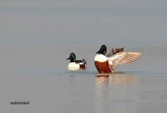 2E6A8162a (TARIQ HAMEED SULEMANI) Tags: sulemani tariq tourism trekking tariqhameedsulemani winter wildlife wild birds nature nikon