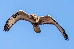 rough legged buzzard (ianbollen) Tags: england cambridgeshire holme bird raptor buzzard roughlegged