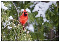 Cardinal in Cedar