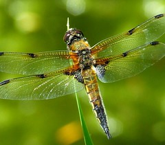 Four-spotted chaser dragonfly at rest... (déise.portláirge) Tags: dragonfly insects insect greenbackground depthoffield wingedinsect amateurphotography mothernature coloursofnature fourspottedchaser naturedetails naturalworld nature naturecloseup