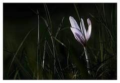 (shallowcreek) Tags: frühling spring makro wiese meadow blume blüte flower gras grün green fantasy
