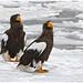 Steller's sea eagles - Stellers zeearenden (Haliaeetus pelagicus)