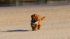 Teddy (Dan Mathias) Tags: puppy dog toy poodle red beach sand cornwall surf sonya7ii sony zeiss photography