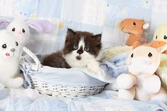 Cute Kitten Pictures (dollfacepersiankittens.com) Tags: bicolor persian kittens for sale doll face cattery cat breeders trisha johnson cats pictures cutekittenpictures cutecatpictures cutekittens felies animals pets