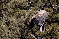 Vautour fauve - Gyps fulvus - Griffon Vulture (olivier teilhard) Tags: vautour vautourfauve gypsfulvus griffonvulture oiseau oiseauenvol nature sauvage libre vercors drôme diois rhônealpes france canon7dmarkii canonef100400mmf4556lisiiusm olivierteilhard