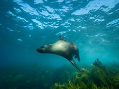High speed seal (Cositos :)) Tags: seal foca astralia underwater photography wide angle free diving olympus 918mm australia sea mar fotosub arctocephalus pusillus fur