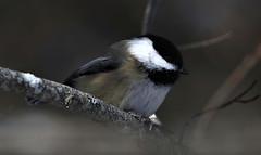 Black-capped Chickadee (kearneyjoe) Tags: blackcappedchickadee