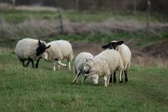 Spring in the air - Deeping Lakes SSSI, Lincolnshire, UK (Nature21290) Tags: artiodactyla deepinglakessssi domesticsheep february2019 lincolnshire mammalia ovis ovisaries uk ungulate