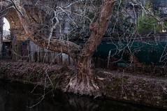 Lungo il naviglio Martesana (fabrizio_buoso) Tags: trees alberi albero nikonclubit navigli naviglio