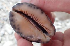 trouvé sur la plage d'Ivalino (8pl) Tags: macro coquillage motif ivalino plage observation lanyu taïwan île