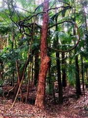 Parsonsia straminea - Common Silkpod or Monkey Rope Vine (+ Archontophoenix cunninghamiana & Eucalyptus microcorys - Tallowwood) (Black Diamond Images) Tags: parsonsia parsonsiastraminea apocynaceae commonsilkpod monkeyropevine arfp nswrfp qrfp subtropicalarf warmtemperatearf cooltemperatearf littoralarf dryarf vinethicketarf wetsclerophyllaf arfcp archontophoenix archontophoenixcunninghamiana arecaceae bangalowpalm unidentifiedplant eucalyptus raintreesnativeandrainforestgardens diamondbeach nsw rnrfgdb rnrfgdbarfp vine climbingplant tree forest appleiphonex iphonexbackcamera iphonex iphone eucalyptusmicrocorys tallowwood
