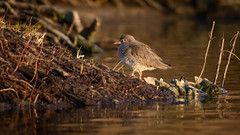 Redshank (JS_71) Tags: nature wildlife nikon photography outdoor 500mm bird new winter see natur pose moment outside animal flickr colour poland sunshine beak feather nikkor d500 wildbirds planet global national wing eye