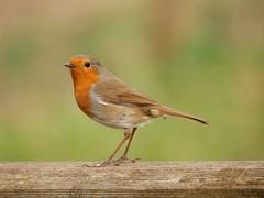 Robin (PhotoLoonie) Tags: bird avian robin wildbird wildlife nature