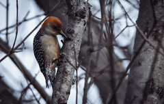 SIN_0952 (Siins048) Tags: woodpecker nikond500 wildlife bird