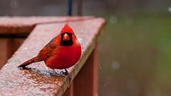 Mr. Cardinal (leehobbi) Tags: cardinal red bird birds nature backyard outdoors snow birdsnaturebackyard
