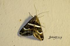 Congenital Lines, Satara, Kruger National Park, Jan 2019 (roelofvdb) Tags: 2019 congenitallines date grammodescongenita january knp moth mothsofsafrica p1065 place satara year