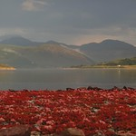 Les fleurs d'Ullapool, Ross and Cromarty, Ecosse, Grande-Bretagne, Royaume-Uni. thumbnail