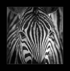 Symmetry (Kevin Rheese) Tags: africa lines zebra stripes wildlife etoshanationalpark border namibia closeup frame face animal oshikotoregion na