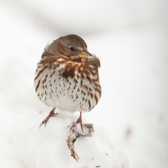 Fox Sparrow-40969.jpg (Mully410 * Images) Tags: birdwatching birding winter backyard bird birds sparrow foxsparrow spring birder snow