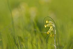 Enlacés (Thierry.Vaye) Tags: nikon d600 sigma art f18 135mm fleur vert jaune herbe flou bokeh
