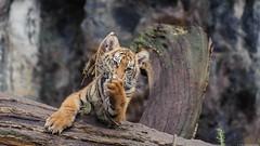 ©Junger Sumatra-Tiger (Nikonfan-Fotografie) Tags: tierpark berlin tierparkberlin lichtenberg friedrichsfelde deutschland germany tierkinder raubtiere tiger